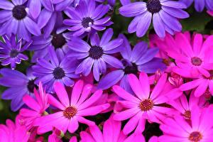Картинки Вблизи Остеоспермум цветок