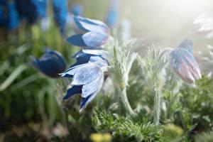 Фотографии Крупным планом Прострел Боке Синих Цветы