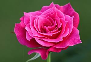 Фотографии Вблизи Роза Розовые Цветы