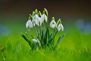 Картинки Крупным планом Подснежники Размытый фон Трава Белый Цветы