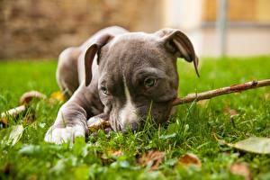 Картинки Собаки Амстафф Трава Лежачие Щенок животное