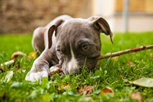 Картинки Собаки Амстафф Трава Лежачие Щенок