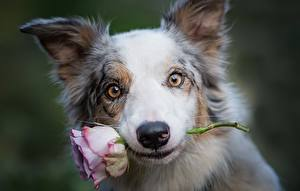 Фото Собака Розы Морда Бордер-колли Смотрят животное