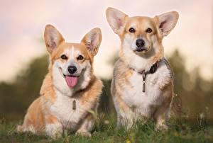 Фотография Собаки Две Вельш-корги Язык (анатомия) Смотрит Животные