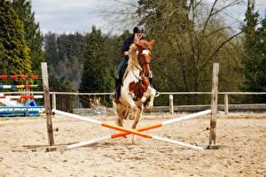 Картинка Верховая езда Лошадь Песка Прыгает спортивная Девушки