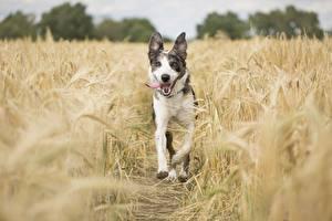 Обои Поля Собака Колосок Языком Бежит животное