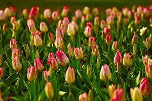 Картинка Поля Много Тюльпан Боке цветок