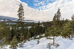 Фотографии Лес Норвегия Облачно Снега Дерева Kongsberg Природа