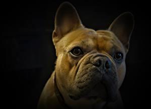 Картинки Французский бульдог Вблизи Собаки Голова Смотрит На черном фоне Животные