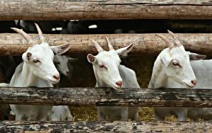 Картинка Коза козел Втроем Белая С рогами Головы Бревно животное