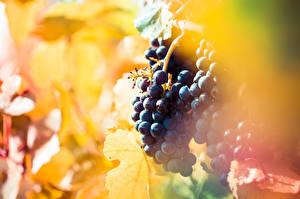 Обои Виноград Боке