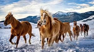 Обои для рабочего стола Лошади Снеге Бег Стадо Животные