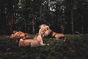 Обои Лев Трое 3 Трава Лежит Животные