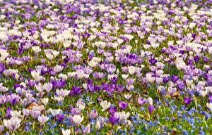Картинки Много Шафран Луга цветок
