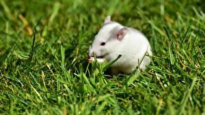 Картинка Мыши Белая Трава Животные
