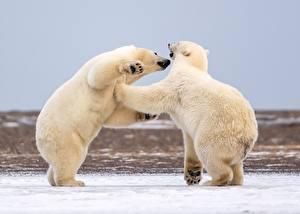 Фотографии Белые Медведи Снегу 2 Дерутся Животные