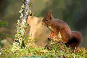 Фотографии Грызуны Белка Боке Траве животное
