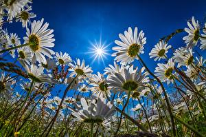 Картинки Небо Луга Ромашки Солнце Лучи света Вид снизу цветок