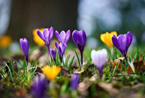 Картинка Весенние Вблизи Шафран Боке Траве цветок