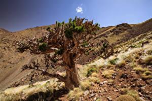 Обои Камень Марокко Африка Дерево Juniper Tree Природа