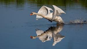 Фото Лебедь Птицы Воде Взлетают Отражении Животные