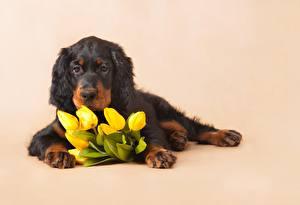 Обои Тюльпан Лежа Щенки Английский сеттер Цветы