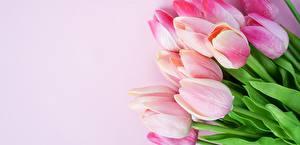 Фото Тюльпан Розовая цветок