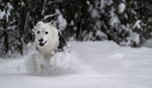Фотографии Зимние Собака Снега Белый Бег Животные
