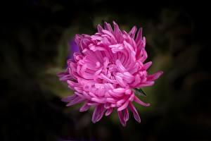 Обои Астры Вблизи Розовая Цветы