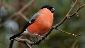Картинка Птица Снегирь Ветвь животное