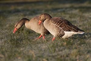 Фотографии Птицы Гусь Трава Две животное