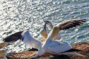 Фото Птица Крылья Northern Gannet Животные