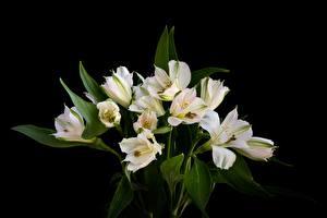 Фото Букет Лилия На черном фоне Белая цветок