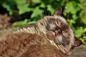 Обои Коты Пушистый Лежачие Спят Морда животное