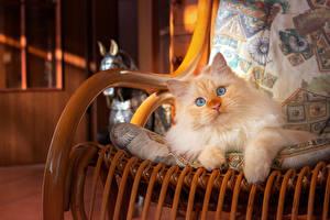 Картинка Кошки Взгляд Кресло Лапы Рыжий животное