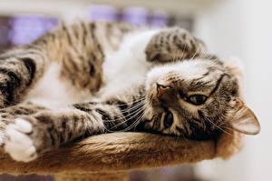Фотографии Кошки Смотрит Лапы животное