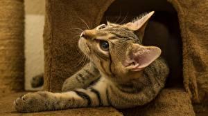 Фотографии Кот Смотрят Лап животное