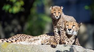 Обои для рабочего стола Гепарды Детеныши 2 Животные