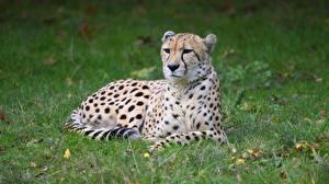 Картинки Гепарды Трава Лежат животное