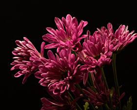 Обои Хризантемы Вблизи На черном фоне Розовая цветок