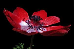 Фото Крупным планом Анемоны На черном фоне Красных цветок