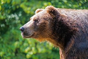 Фото Вблизи Медведи Гризли Размытый фон Сбоку Головы Животные