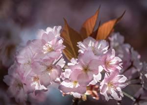 Картинки Вблизи Сакуры Розовая цветок