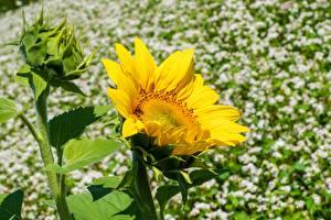 Фото Вблизи Подсолнечник Желтая цветок