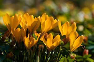 Фото Шафран Вблизи Желтых Цветы