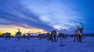 Обои Олени Небо Вечер Снега Стадо Reindeer животное