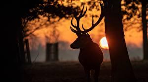 Картинка Олени Рассветы и закаты Рога Силуэт Солнце животное