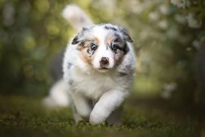 Обои Собака Бежит Аусси Боке Щенки животное