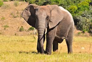 Обои для рабочего стола Слон Траве животное