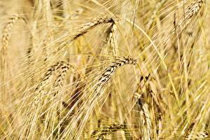 Фотография Поля Пшеница Крупным планом Колоски Природа